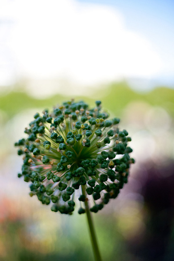 Allium going to seed in the Central Garden by Juan Madrigal