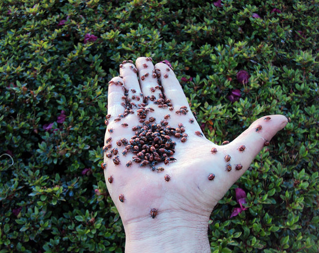 Releasing ladybugs on the azaleas at the Getty Center