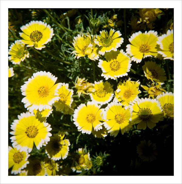 Tidy tips in the Central Garden at the Getty Center - taken with a Diana camera