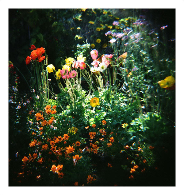 Poppies in the Central Garden at the Getty Center - taken with a Diana camera