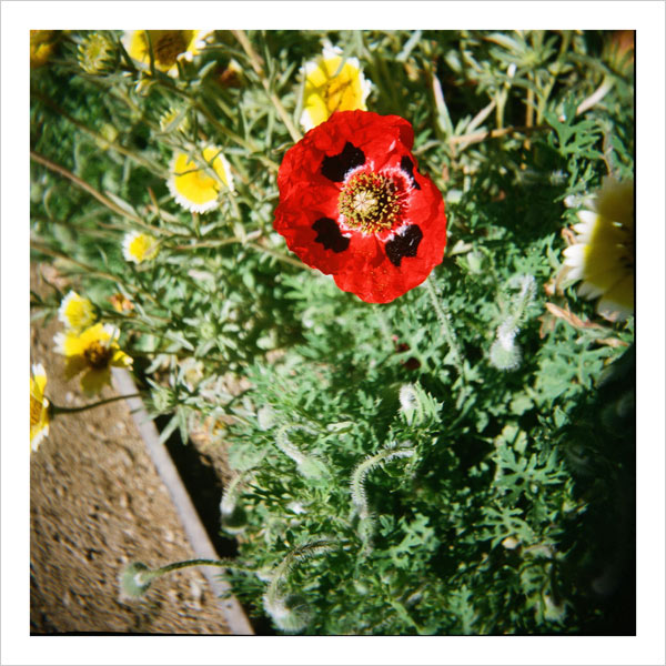 A ladybird poppy in the Central Garden at the Getty Center - taken with a Diana camera