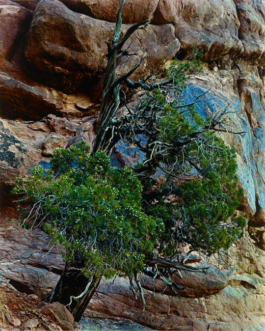 Juniper Tree, Arches National Monument, Utah / Eliot Porter