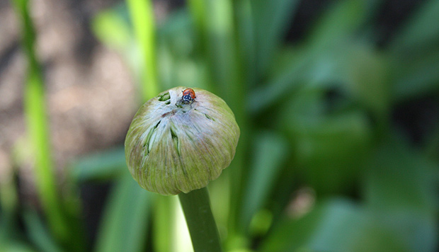 Ladybug on an allium bulb in the Central Garden at the Getty Center