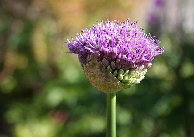 Allium coming into bloom in the Central Garden at the Getty Center
