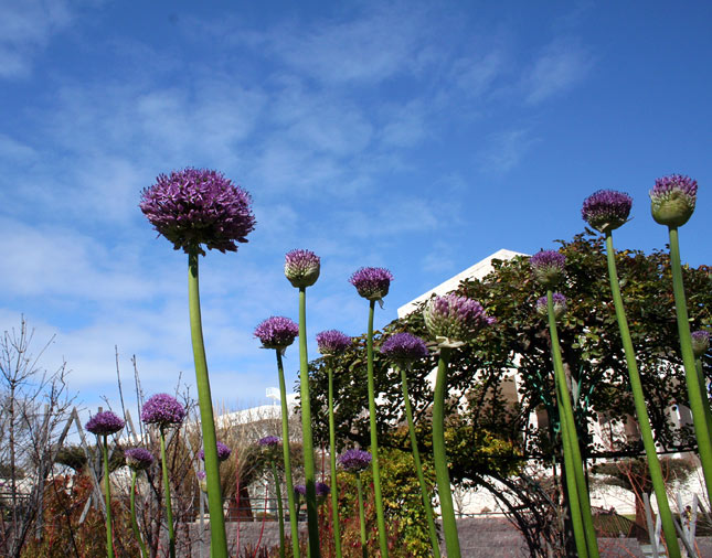 Coming this summer: Look for sculptural alliums holding their own against the dramatic architecture of the Getty Center