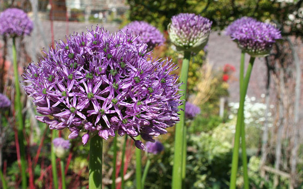 Alliums in bloom in the Central Garden at the Getty Center