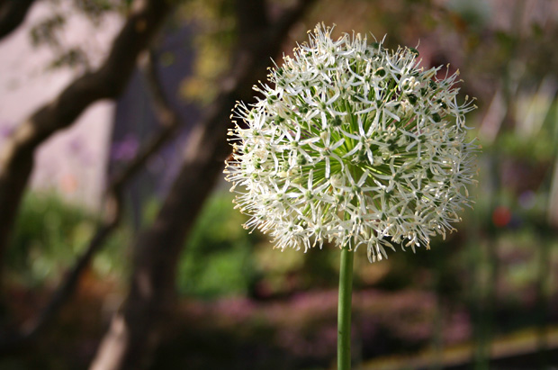 White allium in bloom in the Central Garden at the Getty Center