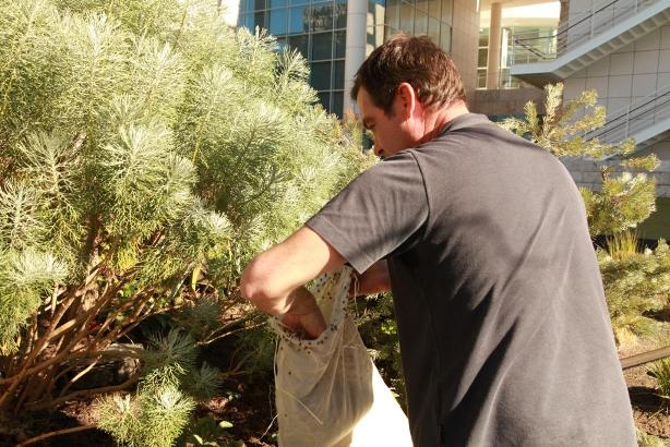 Michael DeHart releases ladybugs in the Getty Center's Central Garden bushes