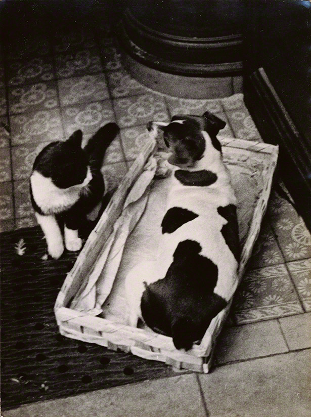 Dog and Cat Series 1 / Andre Kertesz