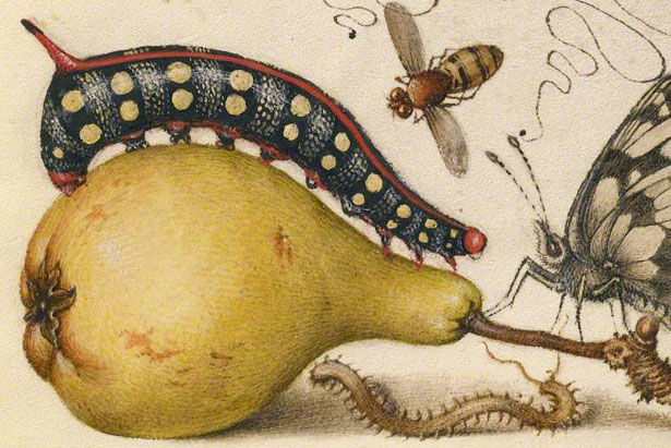 Fly, Caterpillar, Pear, and Centipede / Joris Hoefnagel