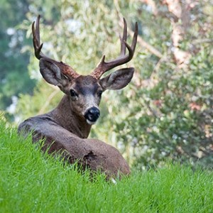 2_gmvi_WH7893_BuckDeer_002_featured