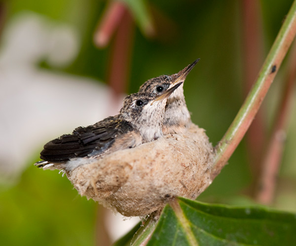 Hummingbird nest at the Getty Villa