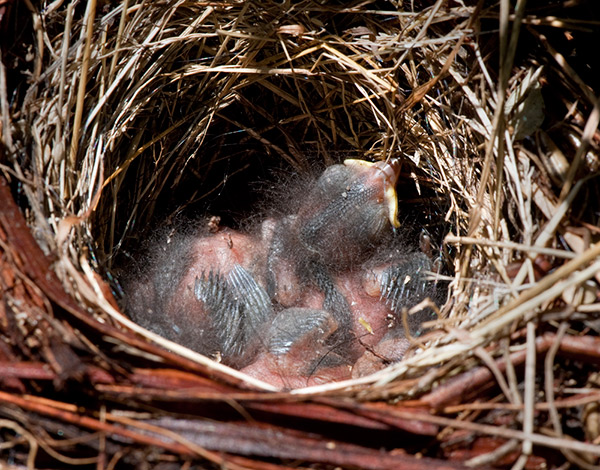 Newly hatched swallows in their nest at the Getty Villa