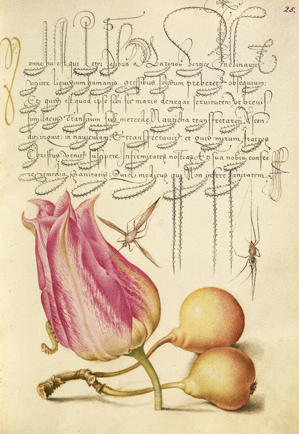 Insect, Tulip, Caterpillar, Spider, and Pear / Joris Hoefnagel