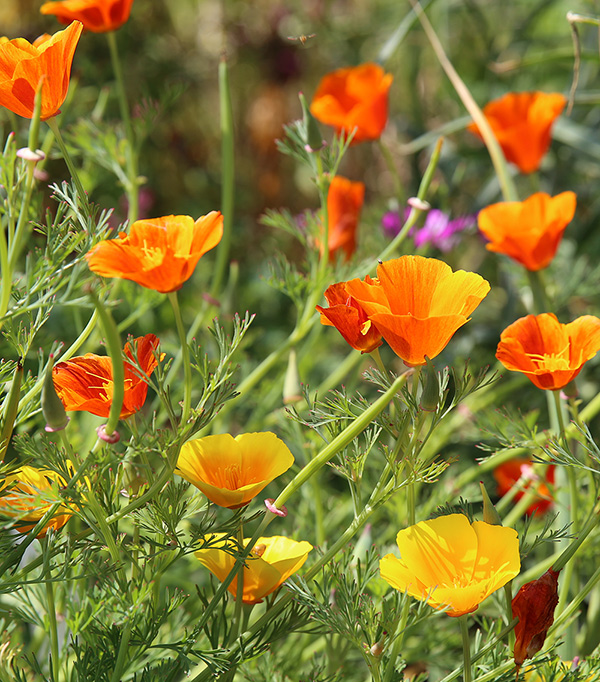 Eschscholzia californica (California poppy) and red Eschscholzia californica cultivar (background)