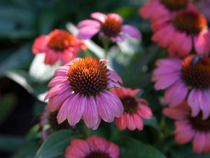 Echinacea in the Central Garden at the Getty Center, September 2013