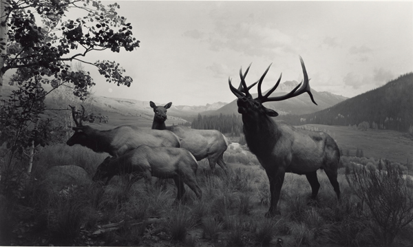 Wapiti, 1980, Hiroshi Sugimoto (Japanese, born 1948), gelatin silver print, © Hiroshi Sugimoto, The J. Paul Getty Museum, Los Angeles, Purchased with funds provided by the Photographs Council