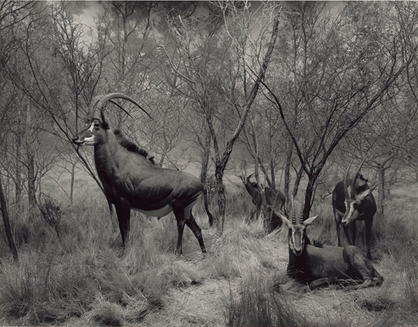 Sable Antelope, 1994, Hiroshi Sugimoto (Japanese, born 1948), gelatin silver print, © Hiroshi Sugimoto, The J. Paul Getty Museum, Los Angeles, Purchased with funds provided by the Photographs Council