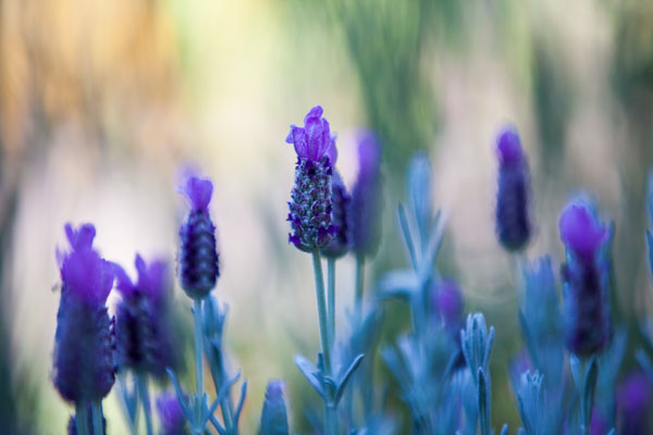 lavender_1_email