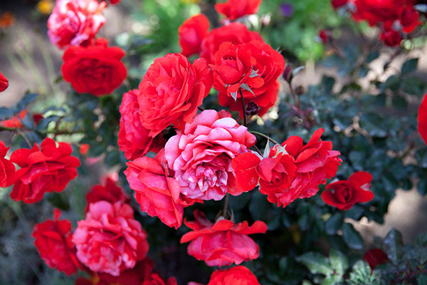 roses_email