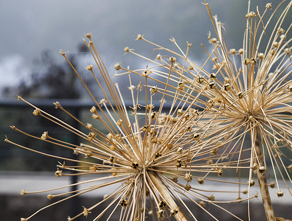 Alliums gone to seed
