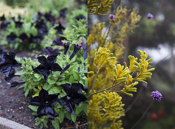 Petunia black ray and anagazanthus (Bush Dawn)