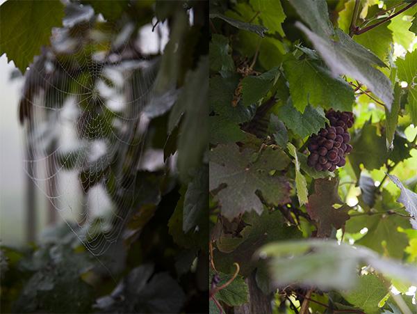 Grapes on a trellis