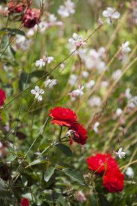 roses3blog