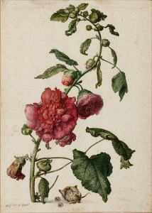 A Hollyhock, 1682, Herman Saftleven (Dutch, 1609-1685). Watercolor, gouache and black chalk, 35.2 x 25.2 cm. © Christie's Images Limited (2014)