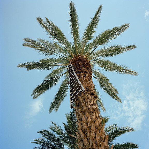 Date palm with harvest ladder, Thermal, Riverside County, 2011