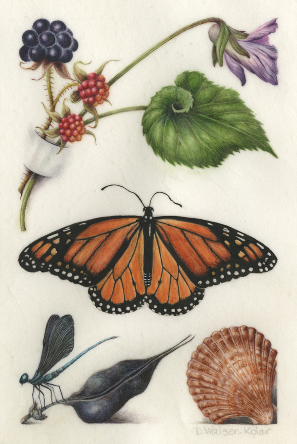 Hoefnagel-Inspired illumination of a monarch butterfly and blackberries / Denise Walser-Kolar