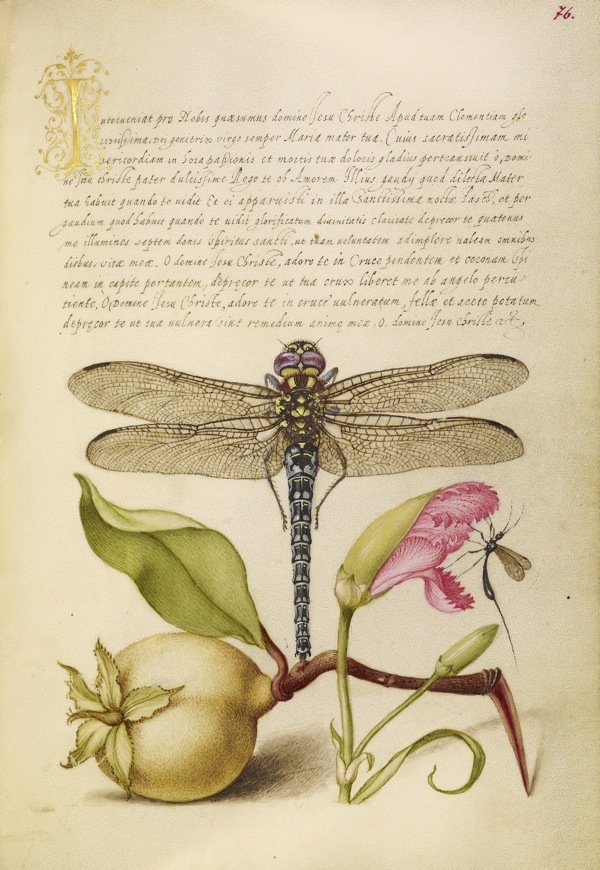 Dragonfly, Pear, Carnation, and Insect in Mira Calligraphiae Monumenta / Hoefnagel and Bocskay