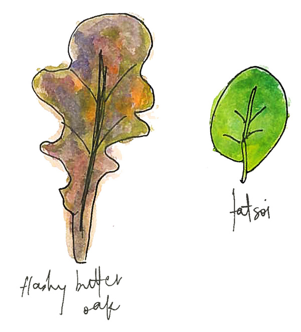 Watercolor of flashy butter oak and tatsoi