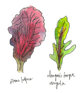 Watercolor of flame lettuce and dragon's tongue arugula