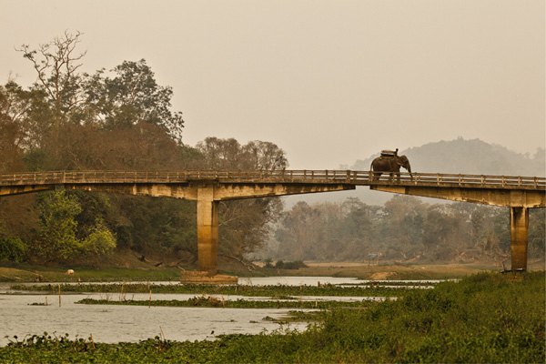 A safari elephant and mahout crosses the bridge to Kazaringa National Park, Assam.