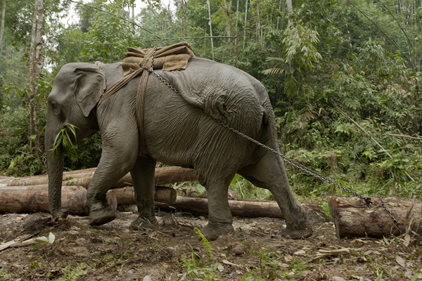 Logging Camp Elephant. The logging elephant is extremely agile, strong, and follows precise directions. Dibrugarh Forest, Joypur, Arunachal Pradesh, India