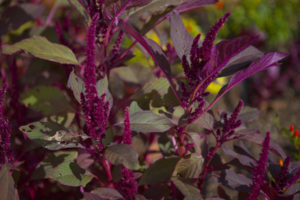 Amaranth in the Getty Salad Garden