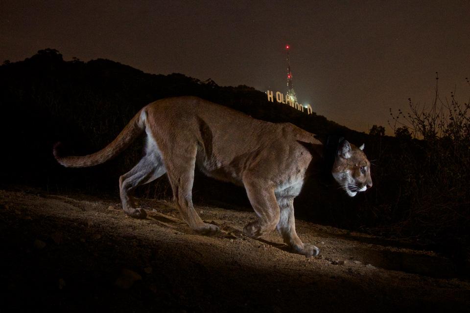 Hollywood Cougar, 2013, Steve Winter