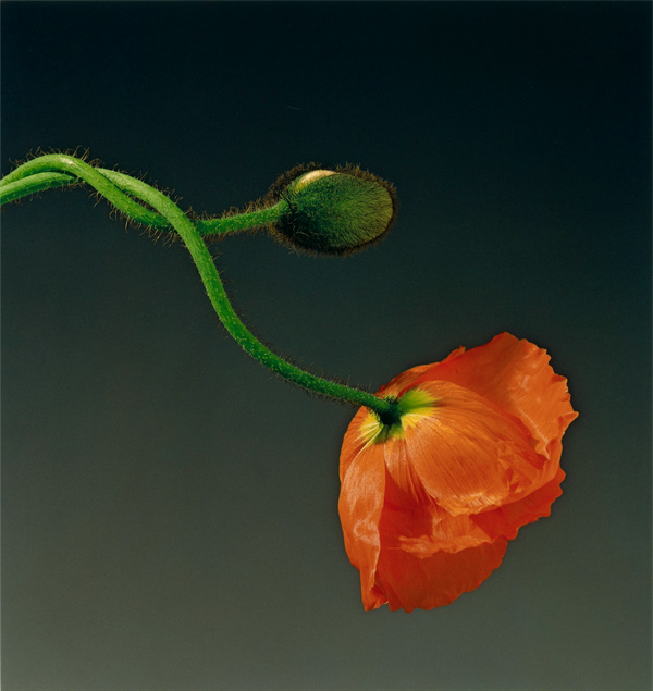 Poppy / Mapplethorpe