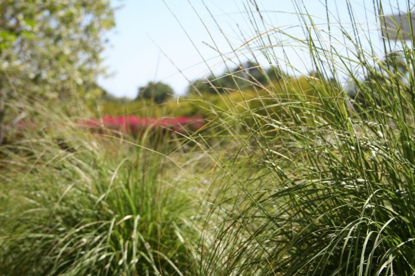 Deer grass in the Getty gardens