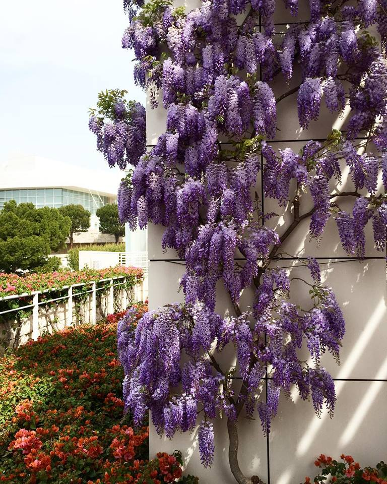 Wisteria in full bloom outside the Getty Center Cafe