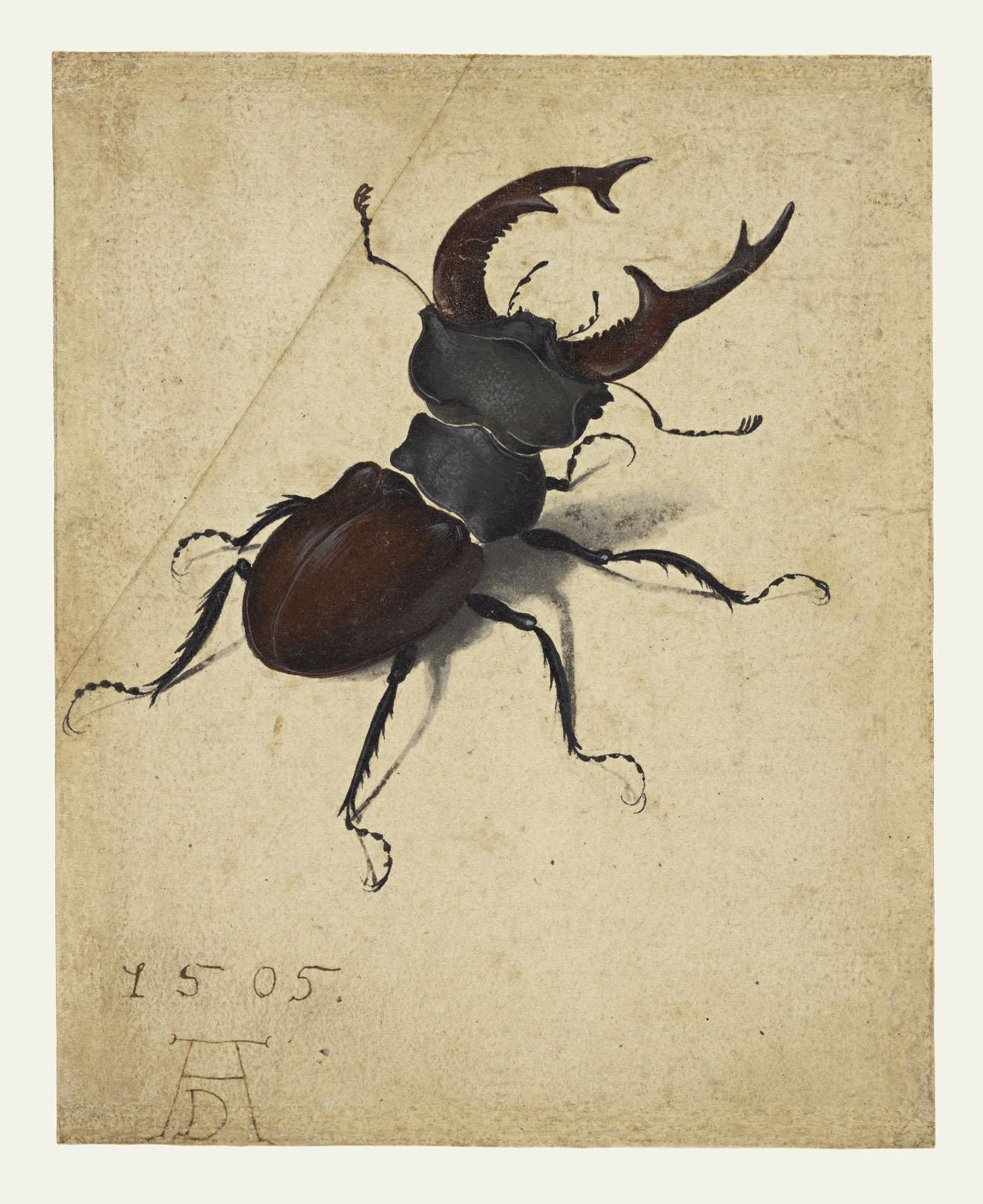 Stag Beetle / Dürer