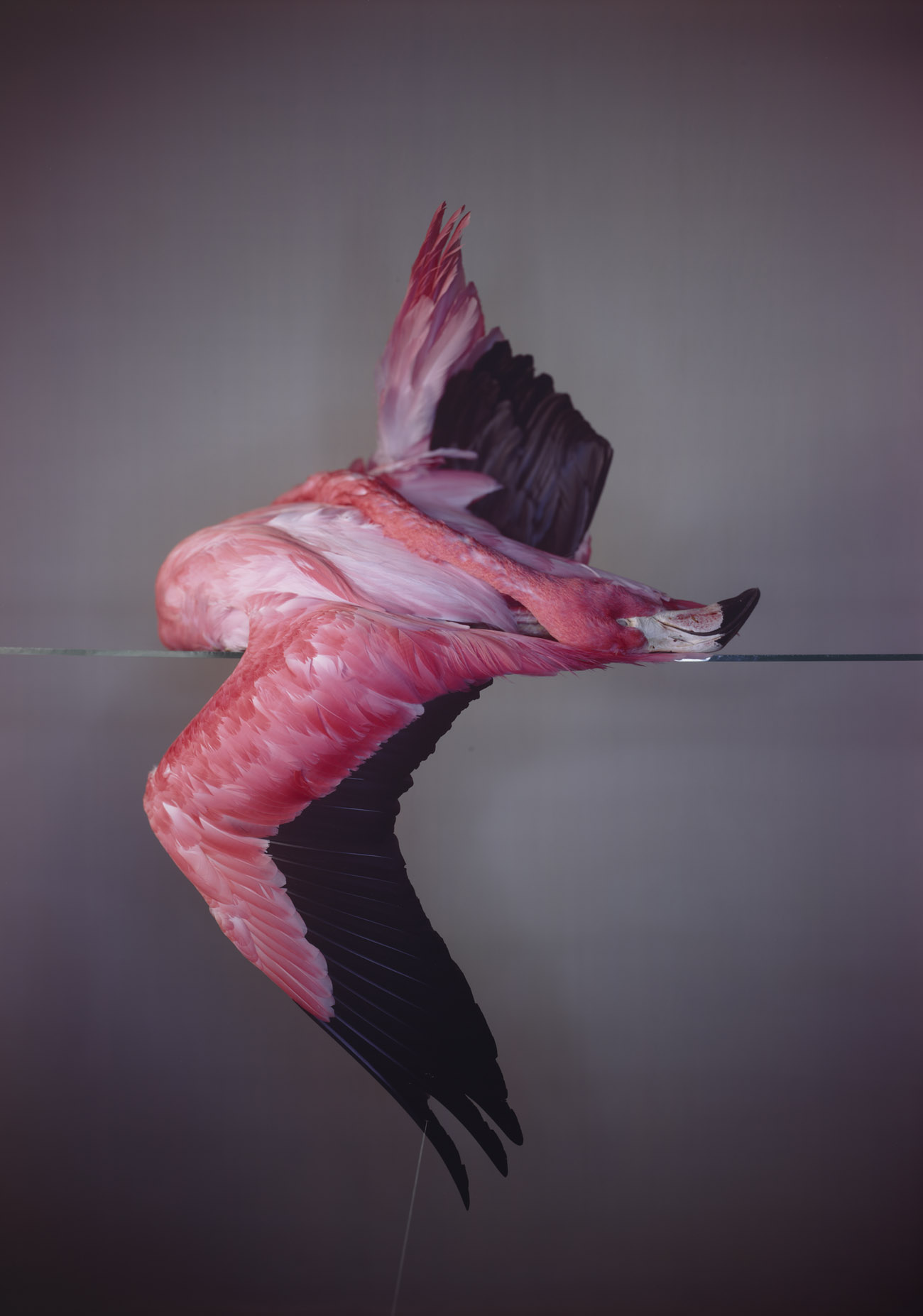Large Flamingo / Richard Learoyd