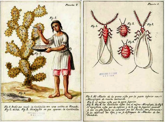 An illustration of cochineal collection by Mexican priest