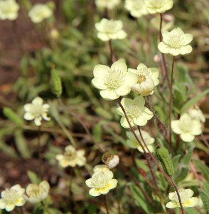 Cream cups (Platystemon californicus)