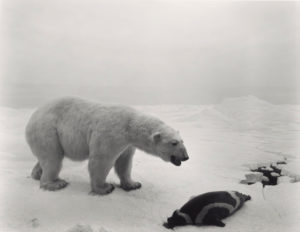 Polar Bear, 1976, Hiroshi Sugimoto (Japanese, born 1948), gelatin silver print, © Hiroshi Sugimoto, The J. Paul Getty Museum, Los Angeles, Purchased with funds provided by the Photographs Council