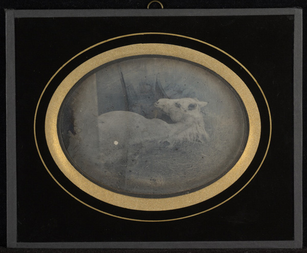 [Study of a white foal]; Jean-Gabriel Eynard, Swiss, 1775 - 1863; about 1845; Daguerreotype; 1/2 plate, Image: 8.3 x 11.3 cm (3 1/4 x 4 7/16 in.), Object (whole): 14.6 x 18.1 cm (5 3/4 x 7 1/8 in.); 84.XT.255.37