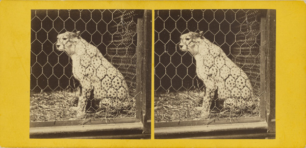 The South African Cheetah. (Felis Jubata.); Frank Haes, British, 1832 - 1916; about 1865; Albumen silver; 84.XC.873.5354