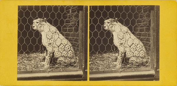 The South African Cheetah. (Felis Jubata.); Frank Haes, British, 1832 - 1916; about 1865; Albumen silver; 84.XC.873.5354