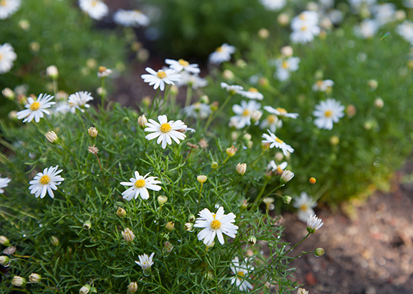 Daisies in the Central Garden at the Getty Center